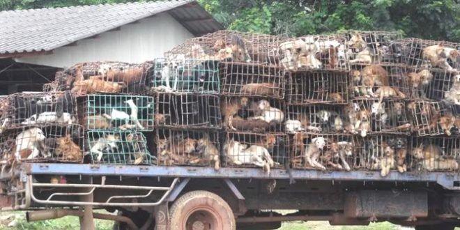 Hunde als Delikatesse in Thailand: tiersos.de/hunde-als-delikatesse-in-thailand/