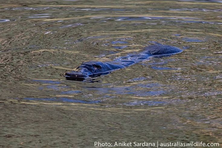 We found some #pools where your are virtually guaranteed of a good view of a #Platypus #aus_wildlife