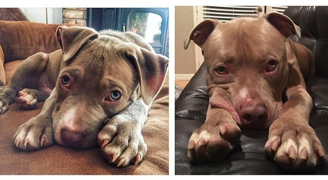 On the left I was 3 months old, on the right is just over a year later.. same face and same pose, just bigger head 😂  #dbmb #pitbullsofficial #bullbreedsofinsta #dogsofinstagram #mydogiscutest #excellent_puppies #bestwoof #pits #excellent_dogs #pitbulloverload #pitbulladvocate #dogsbeingbasic #worldofcutepets #welove_pitbulls #dogs #pitbullinstagram #showusyourpits #ourpitpage #sandiego #pacificbeach #cali #cute #transformationtuesday  #growinguptoofast #tbt #puppy  follow my boy…