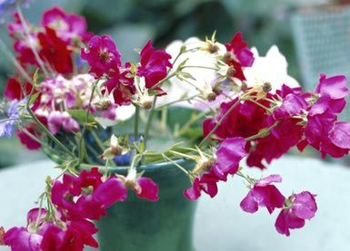 Growing Sweet Pea Annuals in the Garden