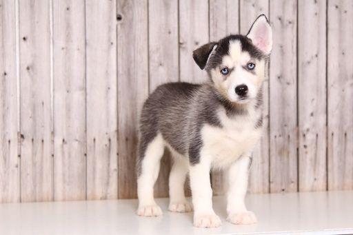 Siberian Husky puppy for sale in MOUNT VERNON, OH. ADN-52094 on PuppyFinder.com Gender: Female. Age: 9 Weeks Old