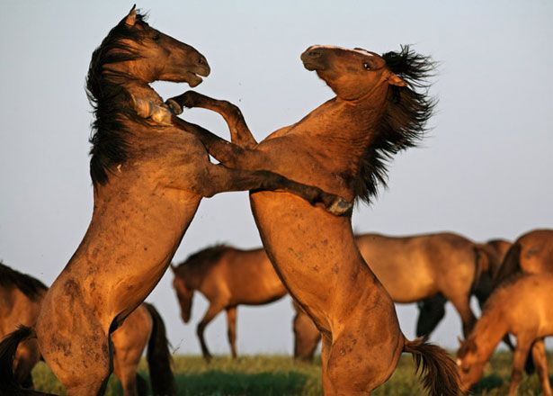 Dancing horses: Animal Photography, Wild Mustang, National Geographic, Wildhor, Hors Pictures, South Dakota, Hors Pics, Hors Photo, Wild Horses