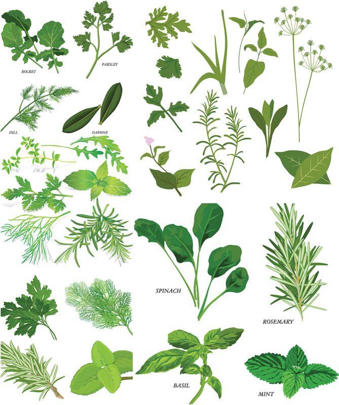 Herbs illustrations vector