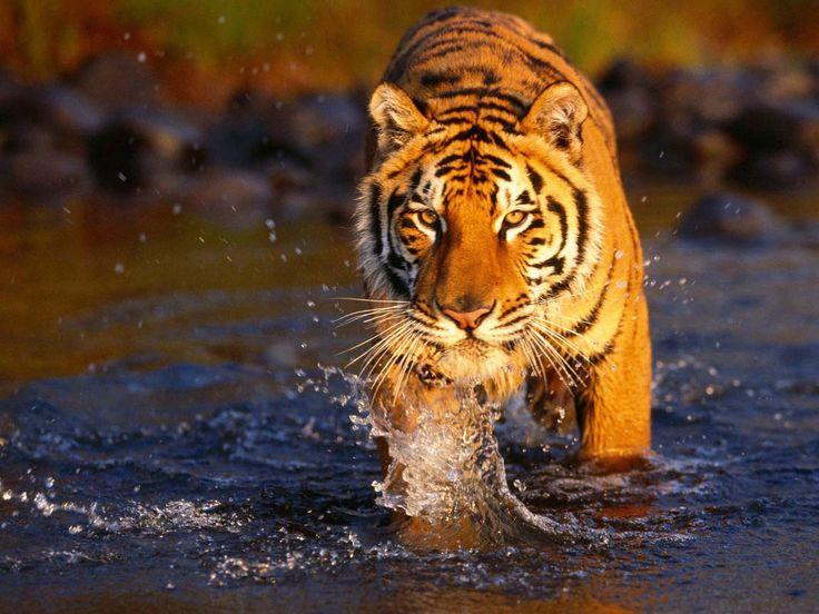 chitwan nationalpark tiger