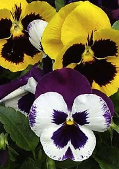 Pansy (Violax Wittrockiana) - Fall Garden - 18 Ways to Add Color This Year - Bob Vila