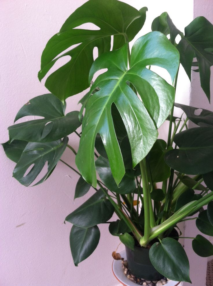 25+ best ideas about Philodendron monstera on Pinterest ...