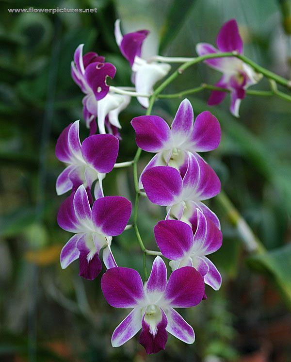 509 Best Orchids Images On Pinterest