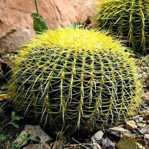 Golden Barrel Cactus is one of the most dramatic plants in the desert. Its round shape and deep ribs are unique, and the curvy golden spines seem to glow in the sunlight. This is one remarkable specim                                                                                                                                                                                 More
