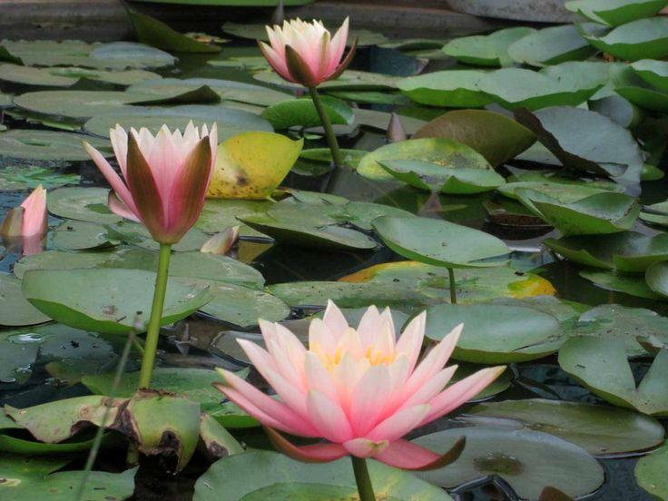 Pond of exotic Lilies, Kodaikanal