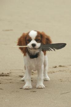 Cavalier King Charles Spaniel Dogs  Cavalier King Charles Spaniel Dog Breed Info & Pictures   petMD