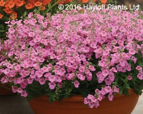 Buy Diascia Little Dancer Online | Hayloft Plants