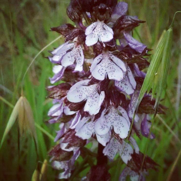#wild #orchid in the #countryside near #rome #lazio #hearth loves #earth http://ift.tt/1VGUdy7 - http://ift.tt/1HQJd81