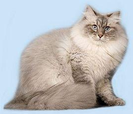 Невские маскарадные котята, сибирские котята