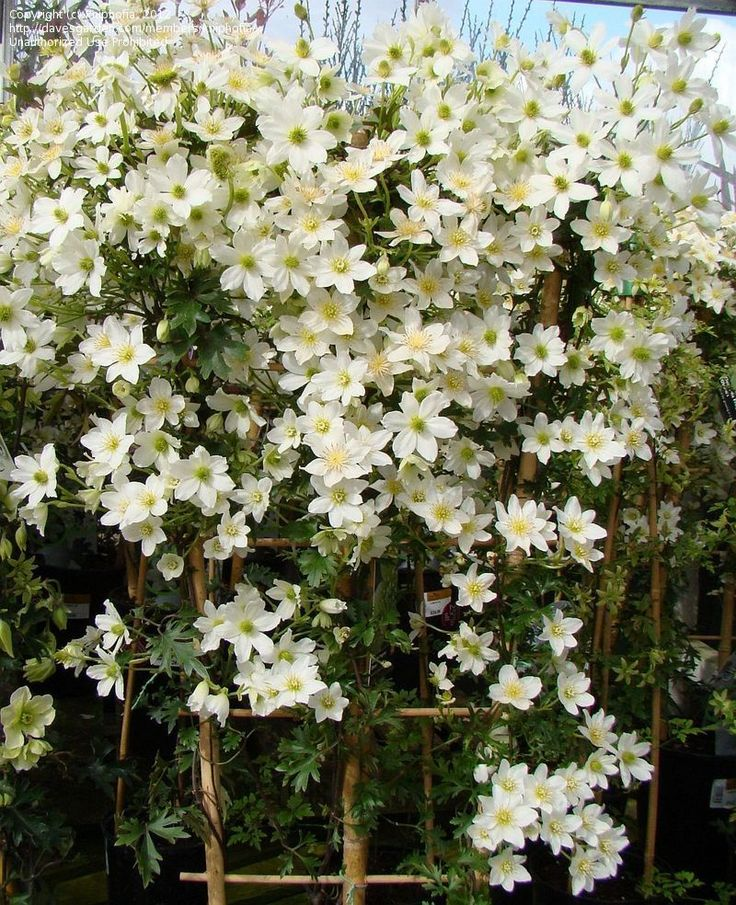 Evergreen, Early, Large-flowered Clematis 'Avalanche' | Clematis x cartmanii