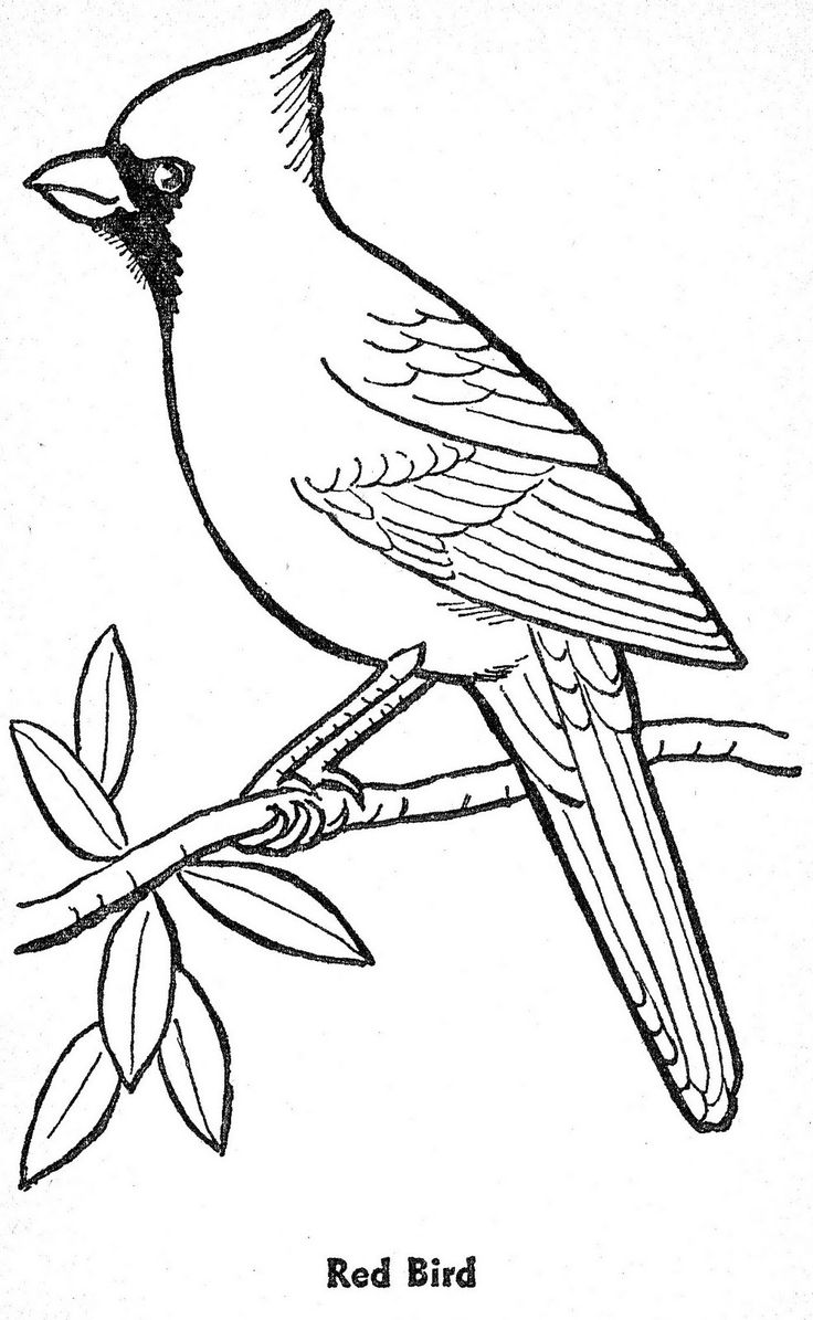 kentucky state bird coloring pages | template for winter bird art lesson.... | january/winter ...