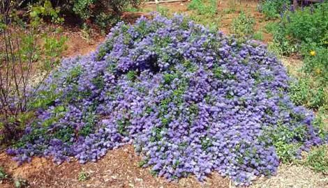 Ceanothus Joyce Coulter' is an evergreen mountain lilac ground cover, 2 foot high by 8 foot wide, (but can be much taller or wider depending on how you prune it, the sun it receives, the water received). Joyce Coulter blooms medium blue in March-May, has dark green foliage, and is heat and drought tolerant.