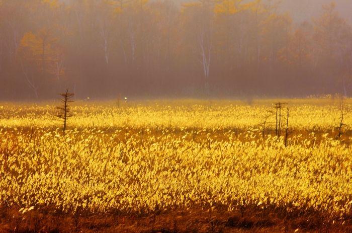 栃木県の奥日光にある湿原、戦場ヶ原。 夕日に照らされ、黄金色に輝くススキの名所です。 朝の幻想的な雰囲気に包まれたススキも、見ものです!