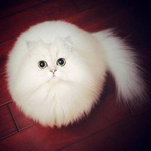 ❤ Fluffy White Fur-ball ❤