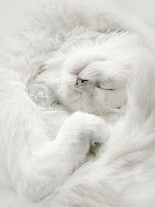 ♥♥white cat
