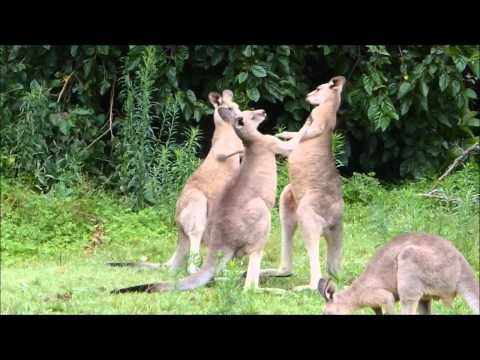 Boxing Kangaroo fighting - wild kangaroos play fighting - YouTube