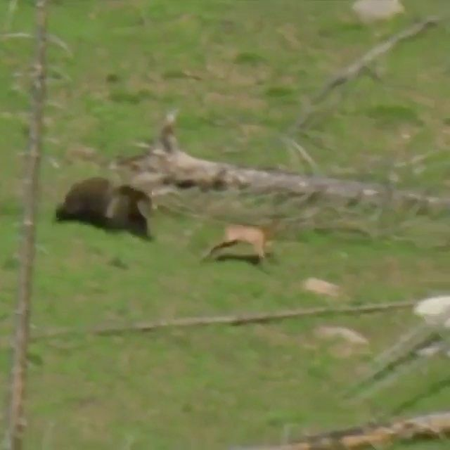 Who said bears are slow? Wow this thing is on a rampage 🐻 • #hunting #bloodtrail #bowhunting #camo #archery #outdoors #nature #whitetail #realtree #sizematters #mossyoak #indiana #kansas #kentucky #illinois #deerhunting #ohio #duckhunting #waterfowl #banded #monster #firearms #rifles #shotgun #deer #duck #shooting #hunt #october #december