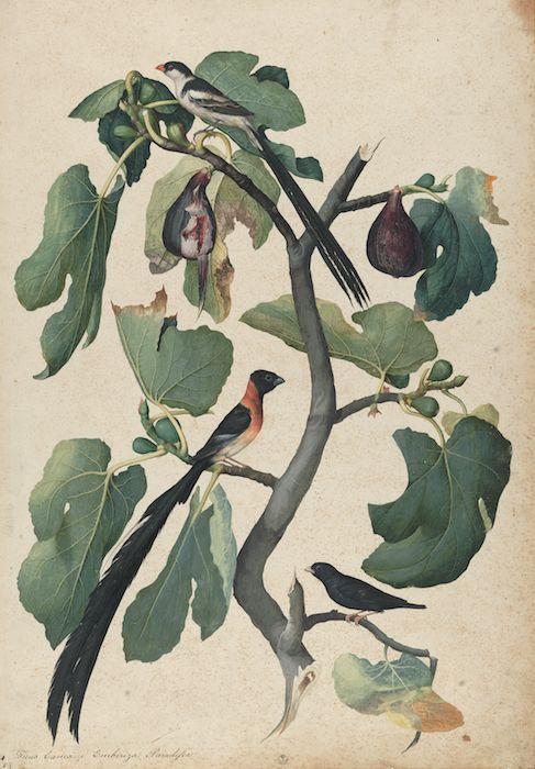 Mostra Jacopo Ligozzi Firenze - Tavole naturalistiche – Gli Uccelli - Ficus Carica (Ficus carica L.) con Vedova Domenicana (Vidua Macroura)