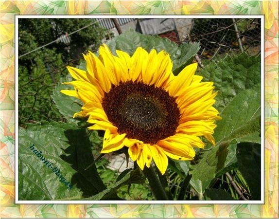 Słoneczniki jak malowane | Babcia radzi, coś tam ... Od tego bije słońca blask, które go kąpie cały czas.