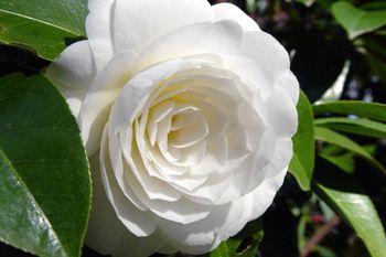 Camelias, la flor literaria