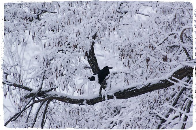 Russian Winter #3. #poetry #freeimages #freepictures #freephotos #haiku #crow #crows #winter #russia #magic #frozen