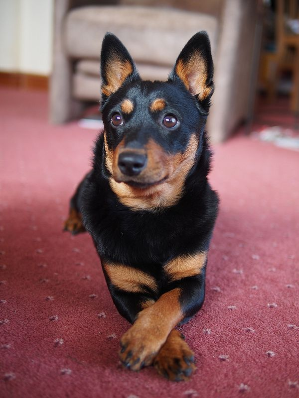 #Lancashire #Heeler - a small herding dog breed from Great Britain. Read abou it here -  http://www.fordogtrainers.com/index.php?main_page=page&id=591