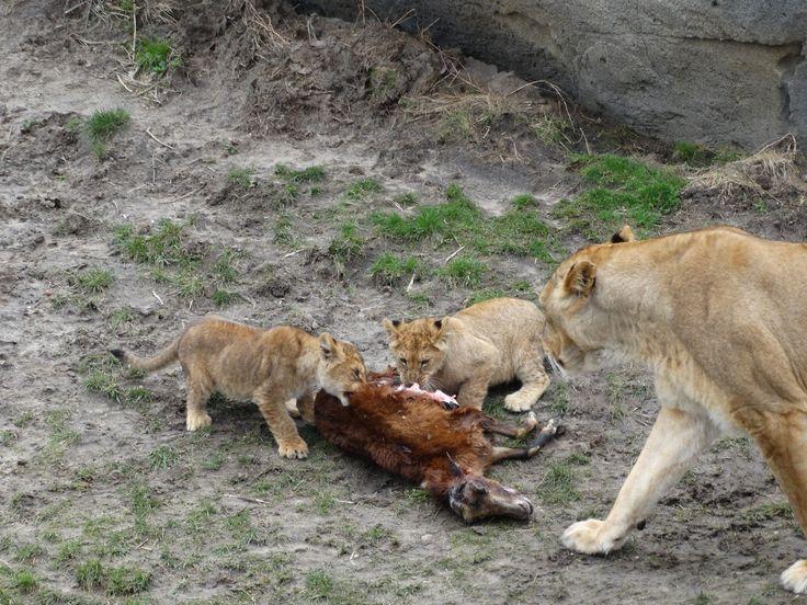 Lion cubs eating while mom is watching - Wildlands Adventure Zoo Emmen - 04-03-2017 By Tjaard Polet