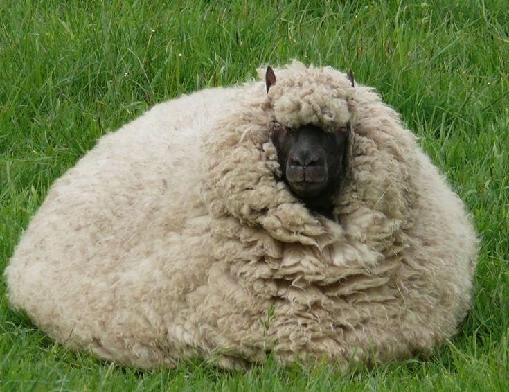Worlds fattest sheep