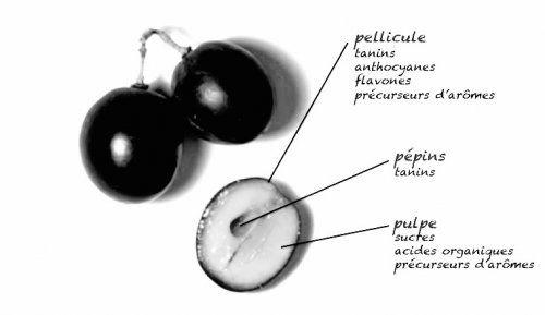 La #maturité du raisin - les constituants importants pour le #vin