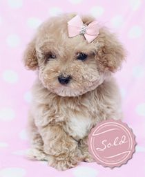 For In Sale Houston Toy Poodle now you