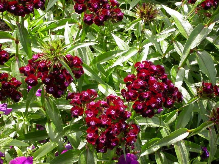 Dianthus barbatus Sooty Sweet William. Backyard. Planted June 2014.