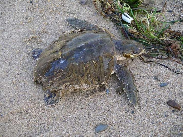 Cape Cod Animal Rescue Part - 31: Kempu0027s Ridley Sea Turtle- For Sea Turtle Strandings On Cape Cod- Call (508