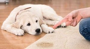 empêcher un chien d'uriner sur les meubles