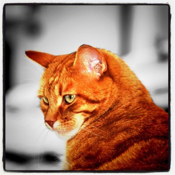 """""""Il gatto: un leone pigmeo che ama i topi, odia i cani e tratta con condiscendenza gli esseri umani.""""    Oliver Herford"""