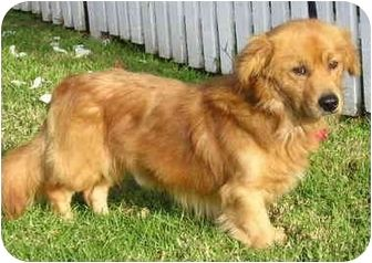 corgi golden retriever mix | maybe what Luna will look like, however, black.