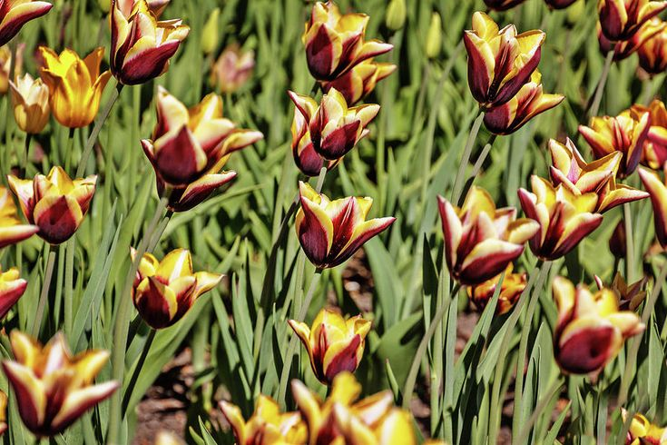 Tulips Photograph - Tulips by Alexander Cherevan  #AlexanderCherevanFineArtPhotography #ArtForHome #FineArtPrints
