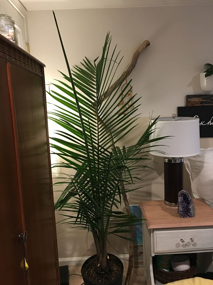 best 25 majesty palm ideas on pinterest hibiscus tree care pool plants and potted palm trees. Black Bedroom Furniture Sets. Home Design Ideas