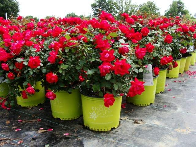 Double Knockout Roses probably sound familiar to you because ever since they were introduced in 2000 they spread like wildfire all over the country. They s