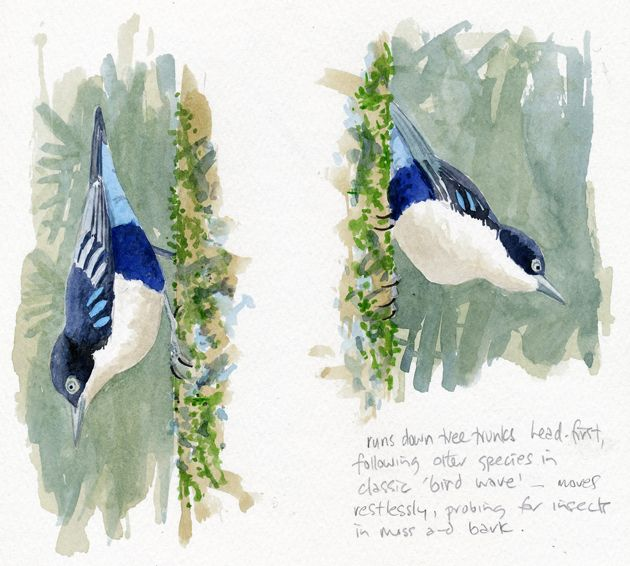 """Blue Nuthatch"" Art by Duncan Butchart"