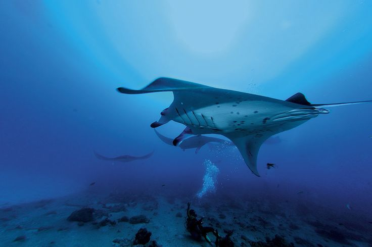 Manta rays swimming in the waters off Moofushi.