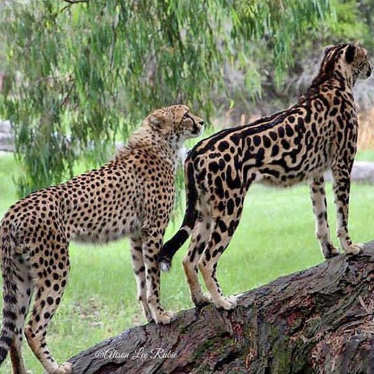 A cheetah and a rare king cheetah with darker spots and lines running down her back. King cheetahs are the product of a recessive gene that causes a rare fur pattern mutation. These are mother and daughter from Taronga Western Plains Zoo. The mother is the King cheetah.
