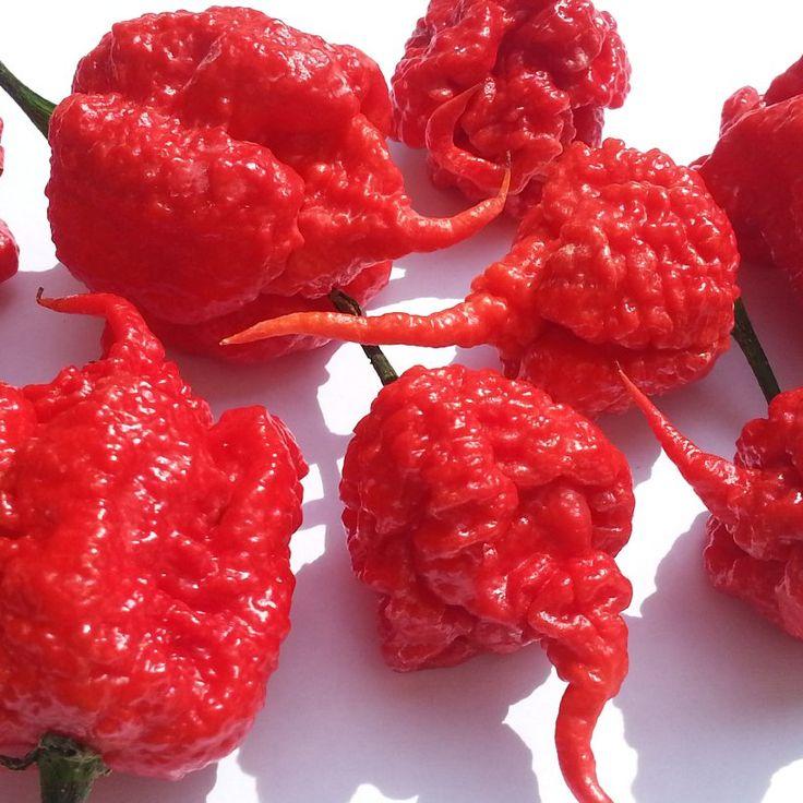 HOT! Carolina Reaper Worlds Hottest Chili Pepper Capsicum chinense – 10 Seeds