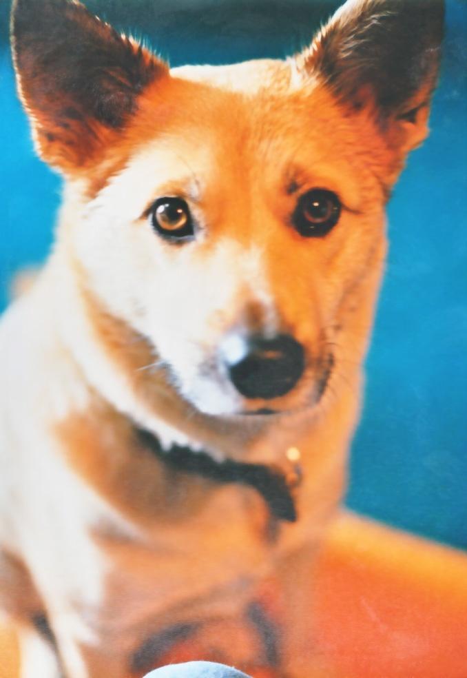 【お名前 :エドウィンくん】(東京都在住/雑種/オス/推定14歳)エドウィンは千葉県の飛行場に捨てにこられた犬でした。二週間前に2トントラックで車から放り出された所を知人が見て私の知るところとなりました。トラックを追いかけて行き運転手が降りてきてエドウィンのお腹を強く蹴ったそうでその傷は何年も残っていました。 周りの人たちが保健所に通報をするというので知った日に1999年11月25日に我が家で保護をしました。私は動物の東京都と埼玉県の保健所の犬猫を引き取り新しい飼い主探しをする愛護活動をしていますので初めは他の保護犬と同様に新しい飼い主さん探しをしようと思っていましたが余りにも性格が穏やかで家にいる3匹の猫とも仲良しになり私どもも手放せなり家族に迎え入れました。 その後 ボランティアの家庭の犬として多くの一時保護の犬猫と一緒に我が家で暮らすのですが、エドウィンはどんな子でも優しく迎え入れてくれました。外で会った犬にどんなに吠えても保護の子の事情が分かっているようで、家に入ってきても静かに受け入れてくれます。(つづく)