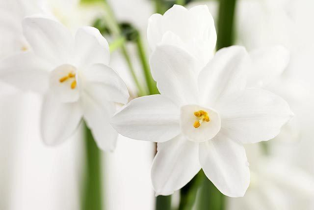How to Grow Narcissus (Paperwhite) Bulbs