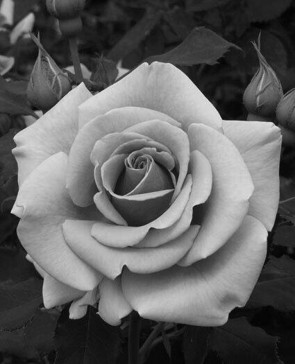 Роза черная и белая