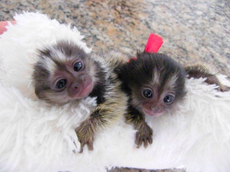 Best 25+ Marmoset monkey ideas on Pinterest | Tiny monkey ...